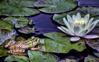 Бесплатные фото лягушка,морда,лапы,листья,лилия,озеро