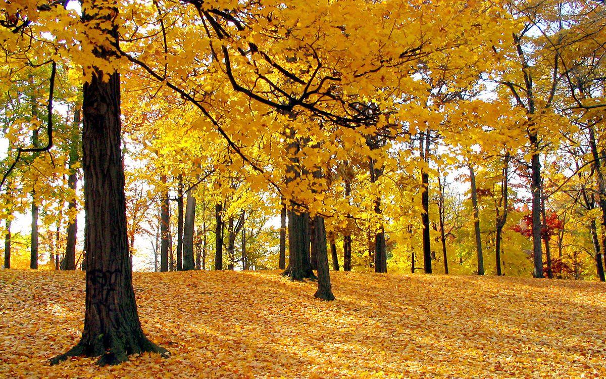 Фото бесплатно осень, роща, деревья, листья, желтые, природа - скачать на рабочий стол