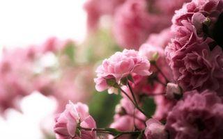 Бесплатные фото кустарник,цветы,лепестки,розовые,стебли,капли,вода