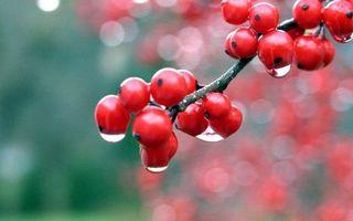 Обои ветка, ягода, красная, дождь, капли, вода
