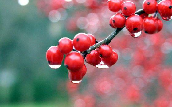 ветка, ягода, красная, дождь, капли