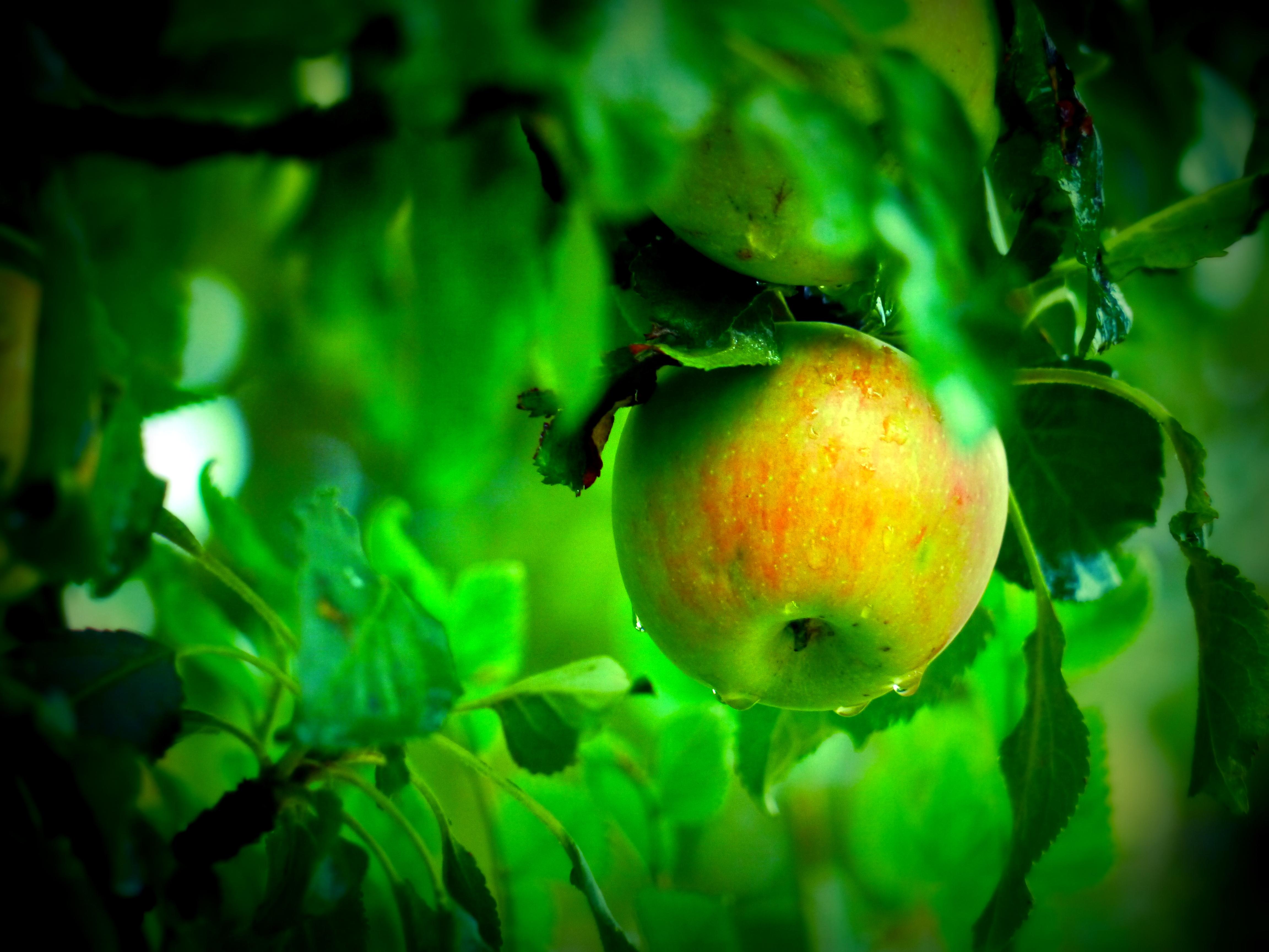 обои яблоня, яблоко, листья, ветви картинки фото