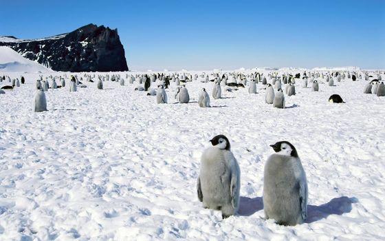 Фото бесплатно пингвины, Арктика, сугробы