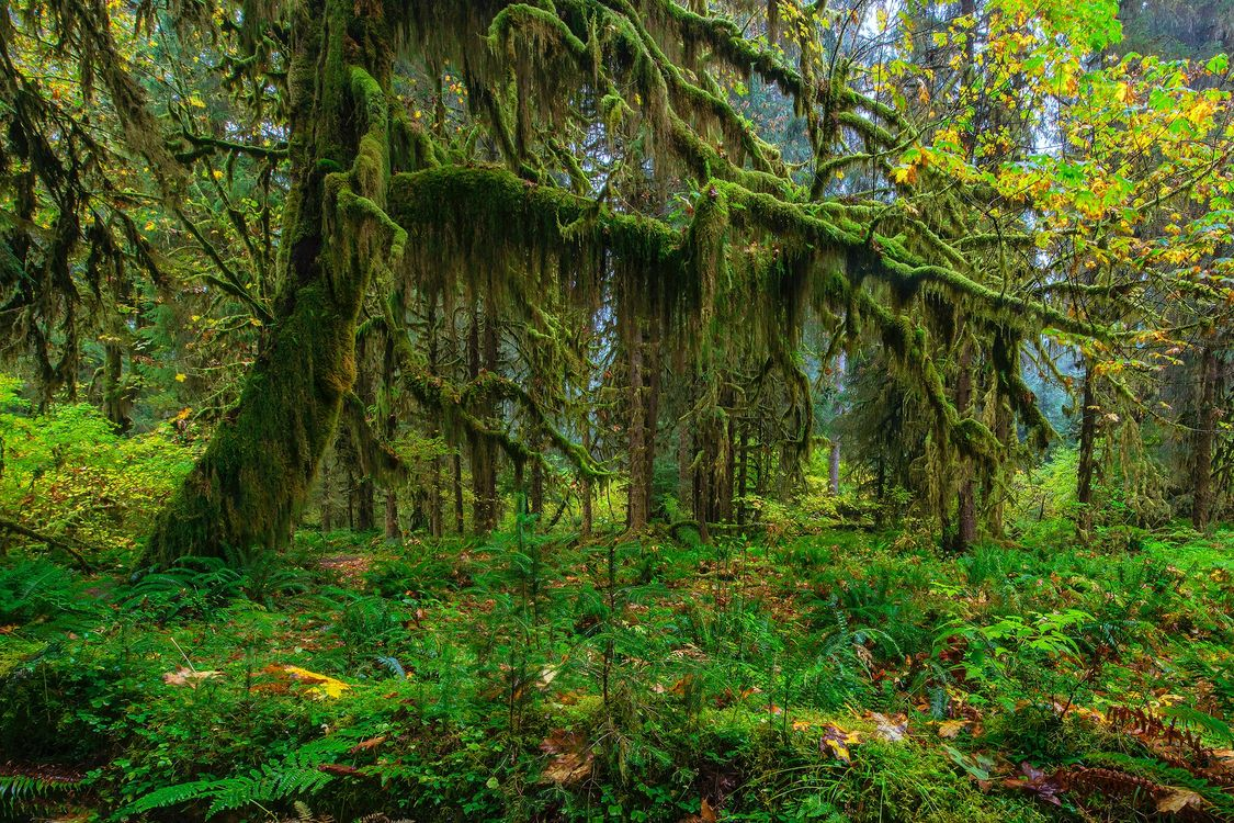 Фото бесплатно Moos tree, Olympic National Park, лес, деревья, мох, мохнатый лес, природа, природа