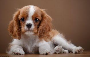Бесплатные фото спаниель,щенок,уши,порода