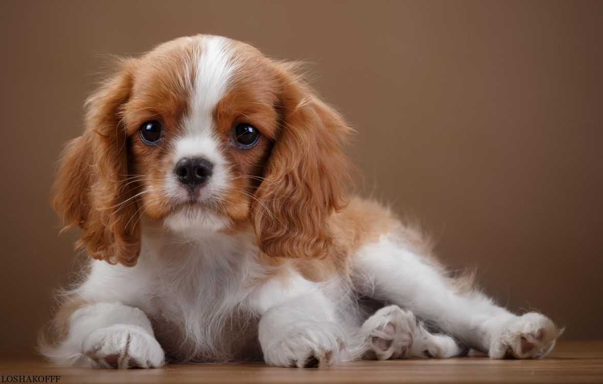 Фото бесплатно спаниель щенок уши - на рабочий стол