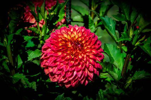 Фото бесплатно георгин, георгины, цветок