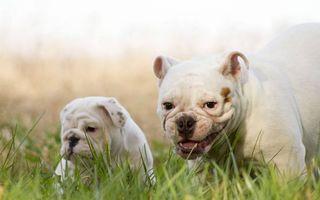 Фото бесплатно лысые мопсы, пес, щенок