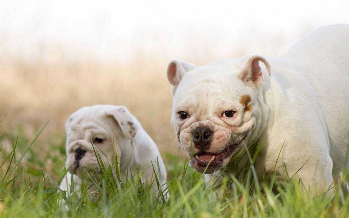 Обои лысые мопсы, пес, щенок картинки на телефон