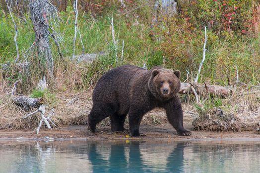 Photo free Alaska, Lake Clark National Park, brown bear