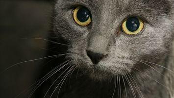 Бесплатные фото кот,серый,морда,глаза,желтые,шерсть
