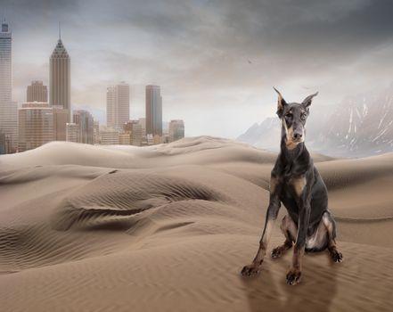 Фото бесплатно доберман, пески, хлмы