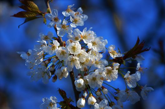Photo free Cherry Blossoms, flora, flowers