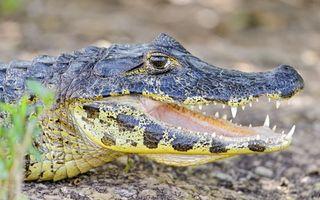 Фото бесплатно крокодил, пасть, зубы
