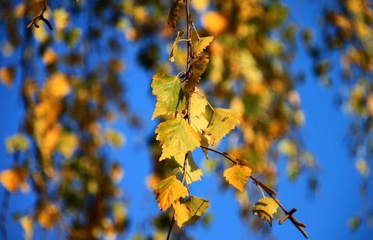 осень, ветка, берёза, листья, макро
