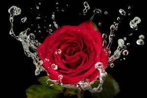 Бесплатные фото роза,розы,цветы,цветок,флора,брызги,вода
