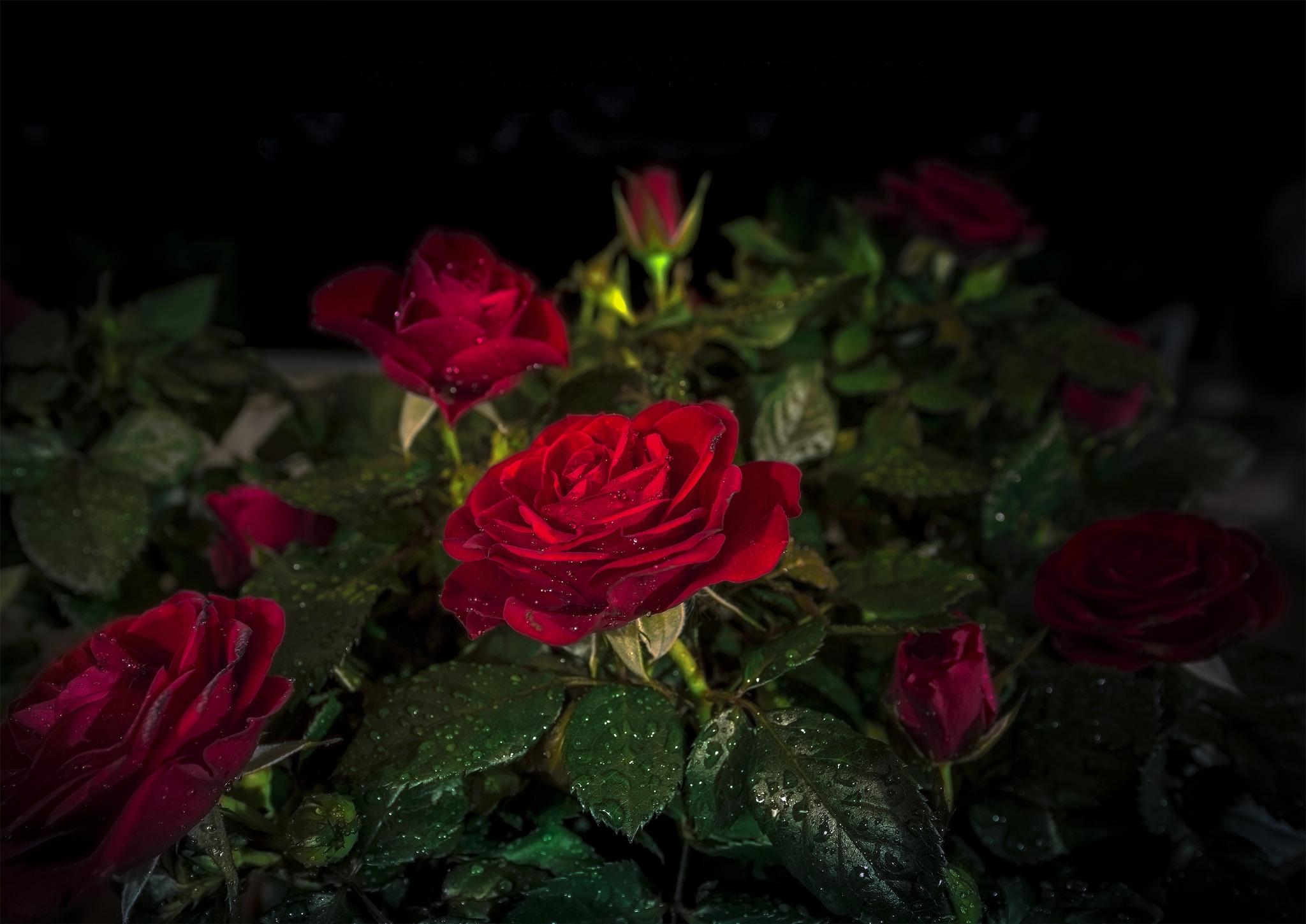 фото роз на темном фоне