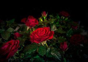 Бесплатные фото роза,розы,цветы,листья,капли,чёрный фон,флора