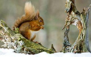 Бесплатные фото белка,морда,лапы,хвост,шерсть,коряга,снег