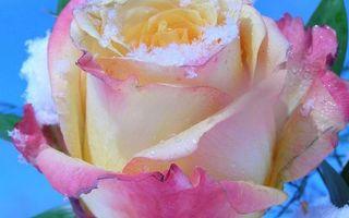 Фото бесплатно роза, лепестки, розовые, капли, роса, снег