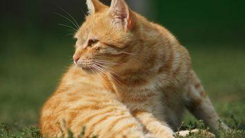 Фото бесплатно кот, рыжий, морда, взор, лапы, шерсть, трава