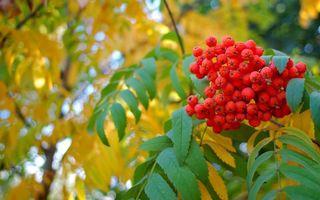Фото бесплатно рябина, осень, дерево, листья