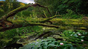 Фото бесплатно водоём, лес, деревья, лилии, цветы, природа
