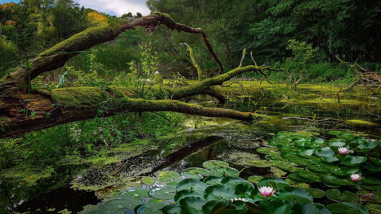 Фото бесплатно водоём, лес, деревья, лилии, цветы, природа, природа