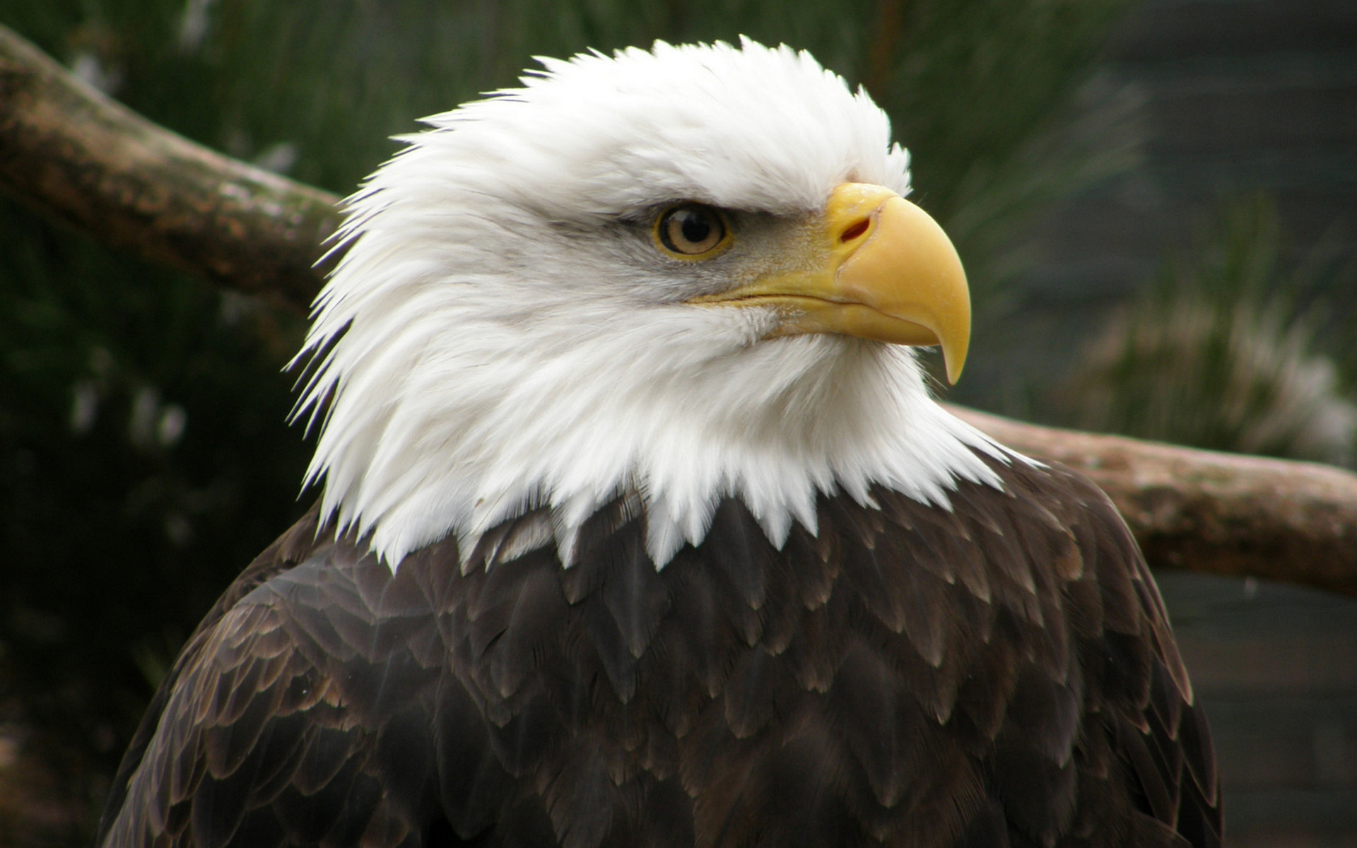белый орел фото животные флюгер крепят