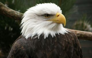 Фото бесплатно орел белоголовый, хищник, перья