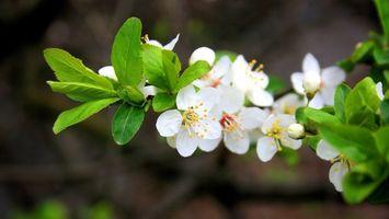 Обои яблоня, ветка, листья, зеленые, цветочки, лепестки, белые