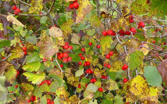 Фото бесплатно кустарник, ягода, красная, ветви, листья