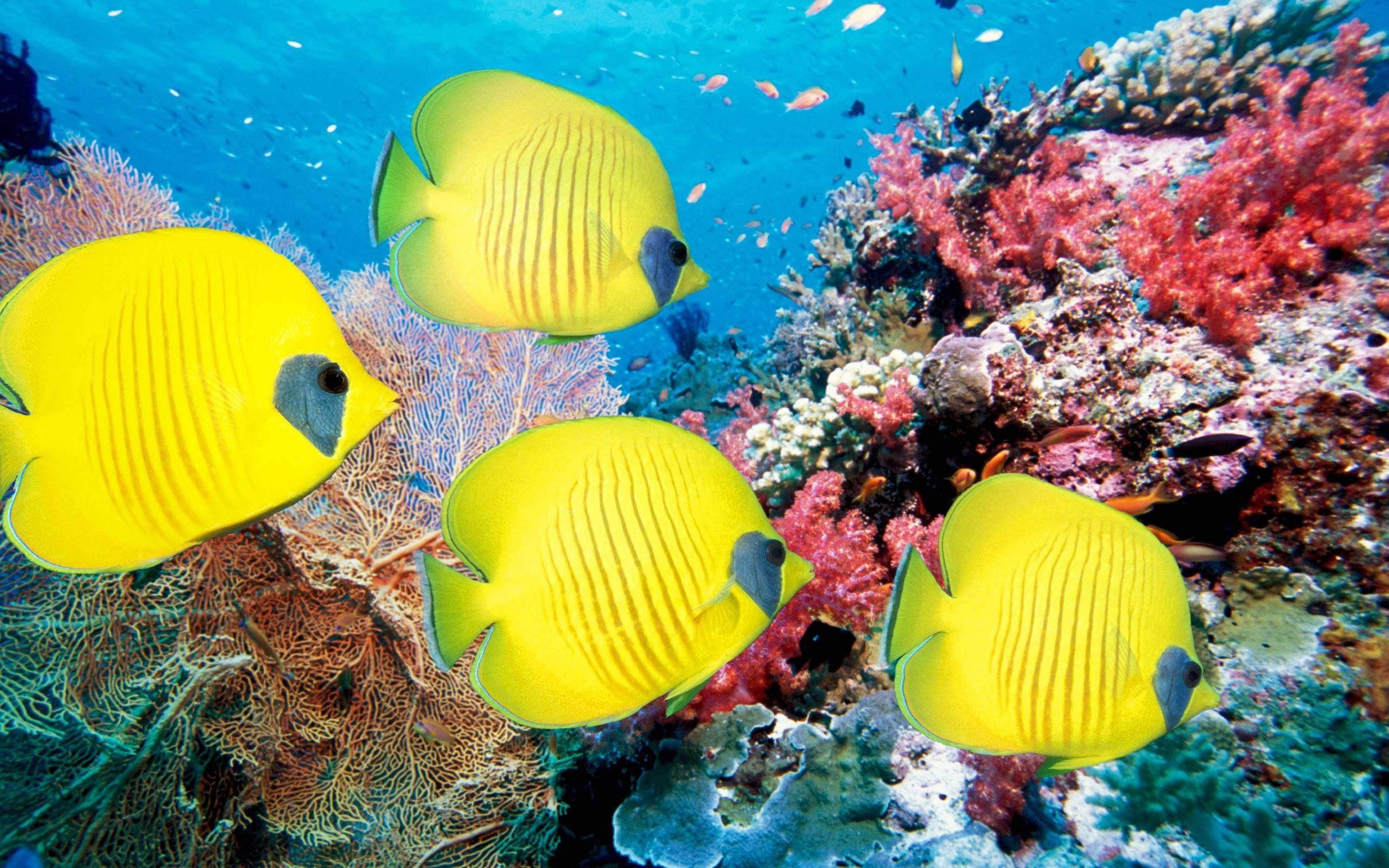 обои желтые рыбы, кораллы, океан картинки фото
