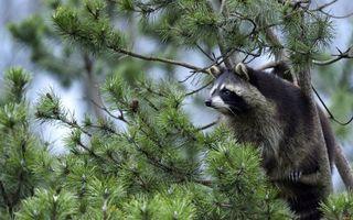 Бесплатные фото енот,морда,лапы,шерсть,дерево,ветви