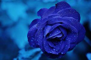 Заставки роза, голубая роза, цветок