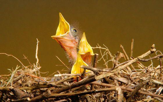 Бесплатные фото гнездо,ветви,птенцы,клювы,желтые,крик