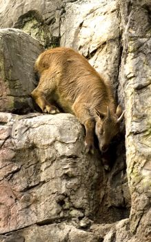 Фото бесплатно козлик, морда, рога