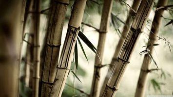 Заставки бамбук, стволы, одеревеневшая