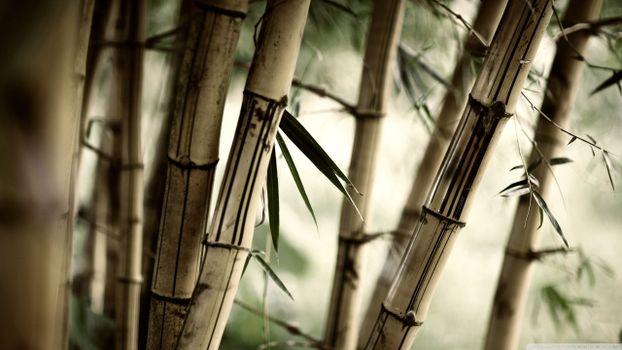 Фото бесплатно бамбук, стволы, одеревеневшая