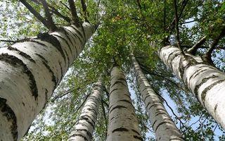 Бесплатные фото деревья,березы,стволы,кроны,ветви,листья