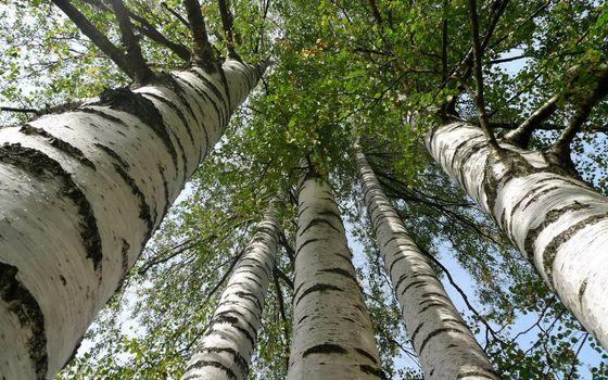 Заставки деревья,березы,стволы,кроны,ветви,листья