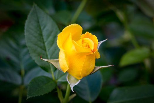 Красивая заставка розы, флора
