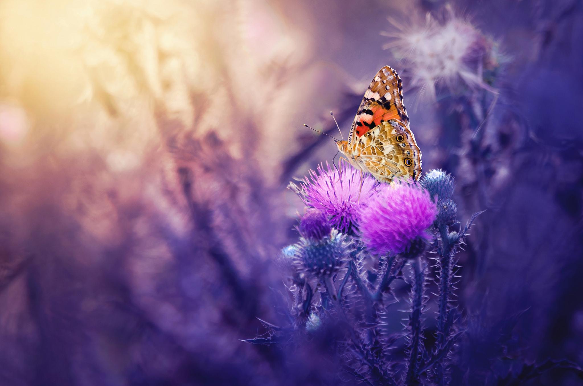 Обои Чертополох, цветок, бабочка, макро