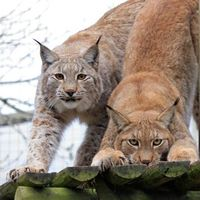 Бесплатные фото рысь, рыси, кошка, природа, животные