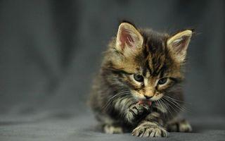 Заставки котенок,морда,лапы,язык,шерсть,фон серый