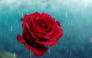 Photo free rose, petals, drops
