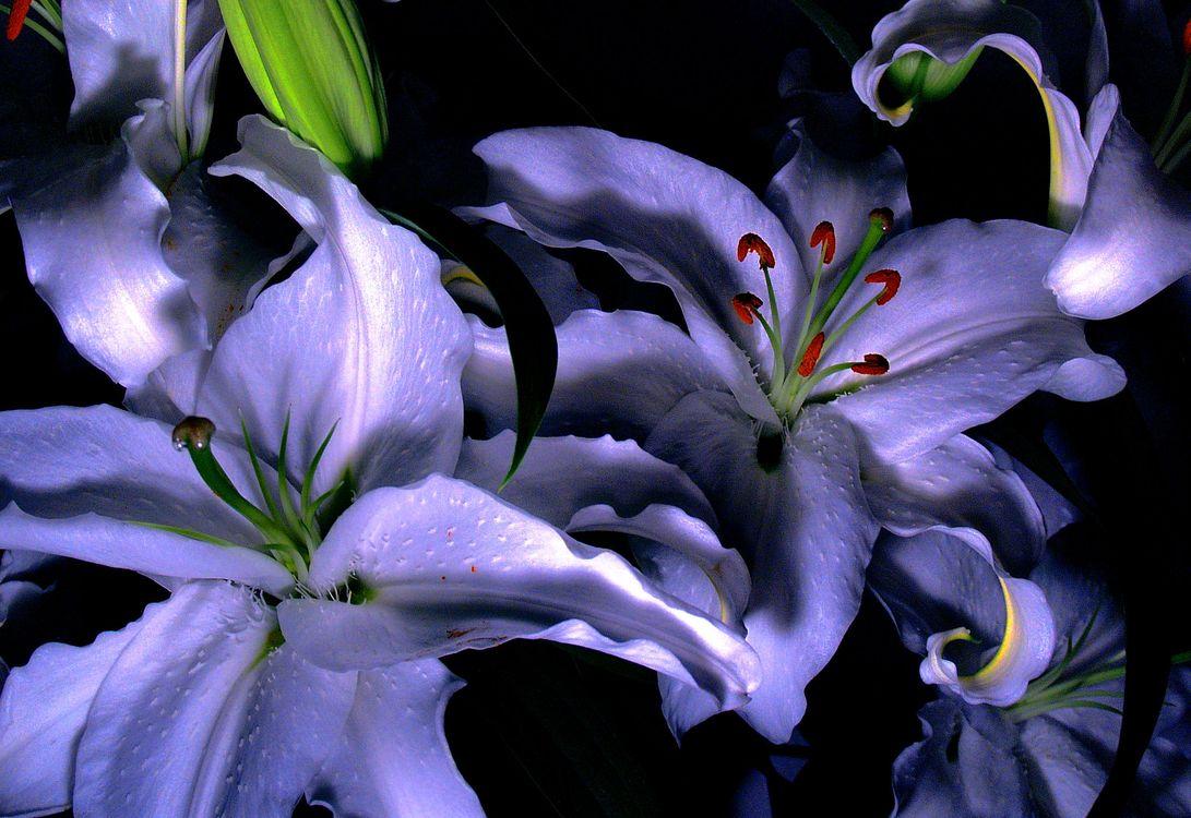 lilies-of-capricorn