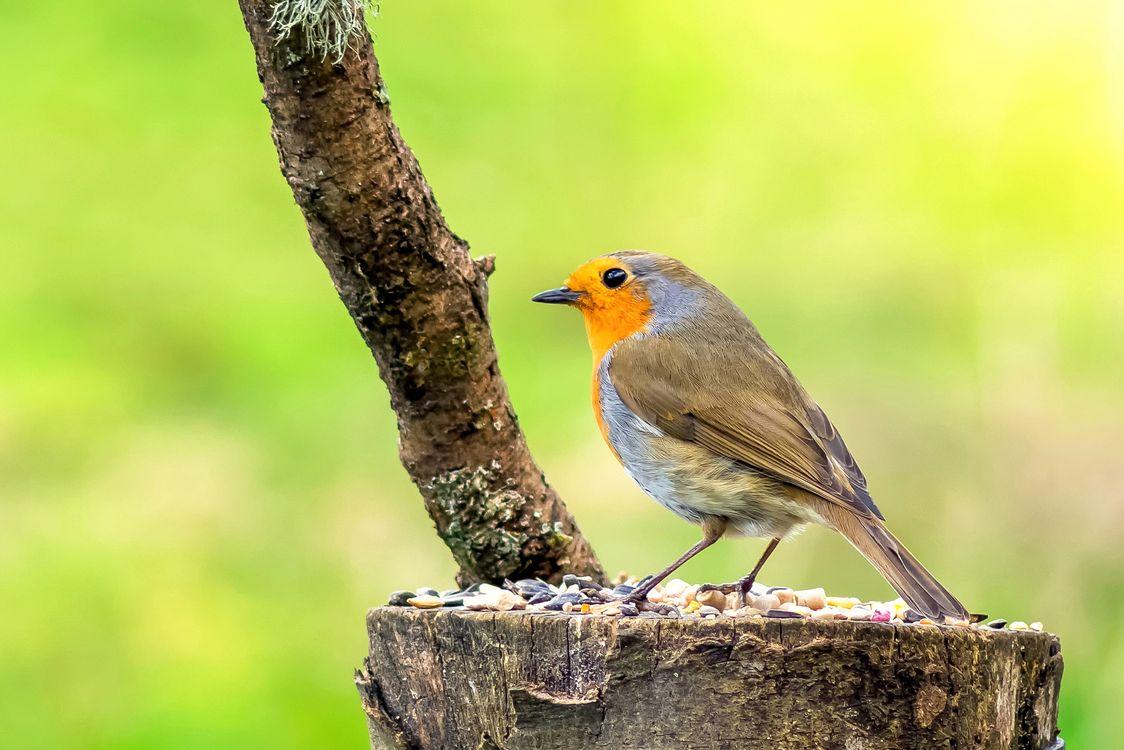 Фото бесплатно Robin, птица, птица на пне, природа - на рабочий стол