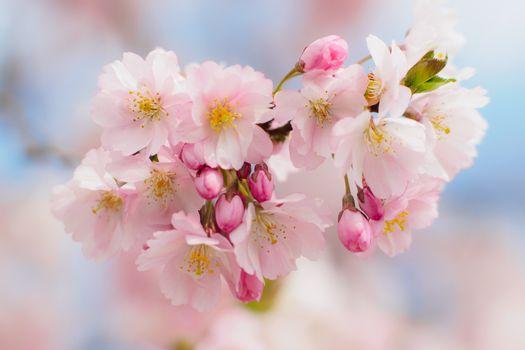 Заставки cherry blossom,вишневый цвет,флора