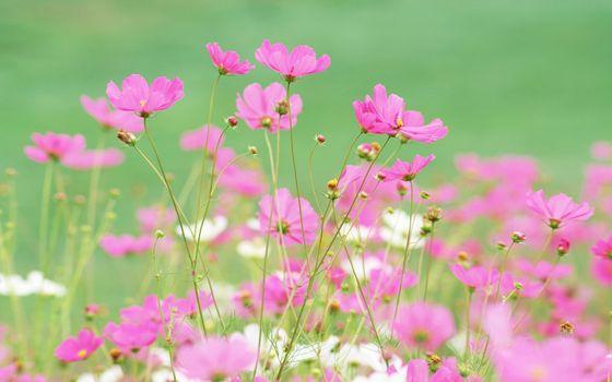 Фото бесплатно лепестки, розовые, белые, стебли, зеленые, полевые